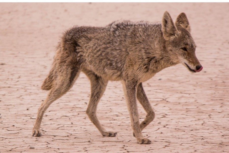 Do Coyotes Climb Trees? What You Need To Know.