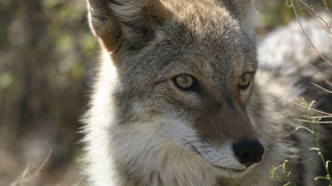 Coyote Behavior – Fascinating Facts About Coyotes