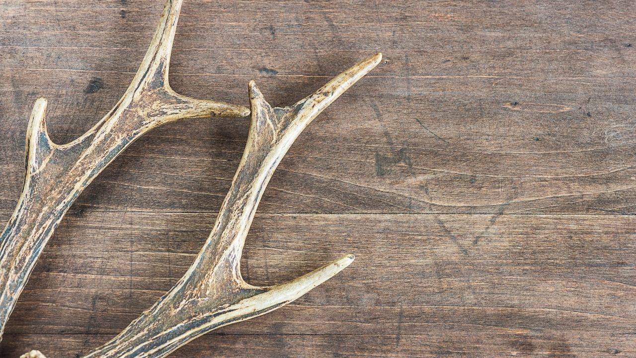 What Eats Deer Antlers? 4 Antler Eating Animals That May Surprise You