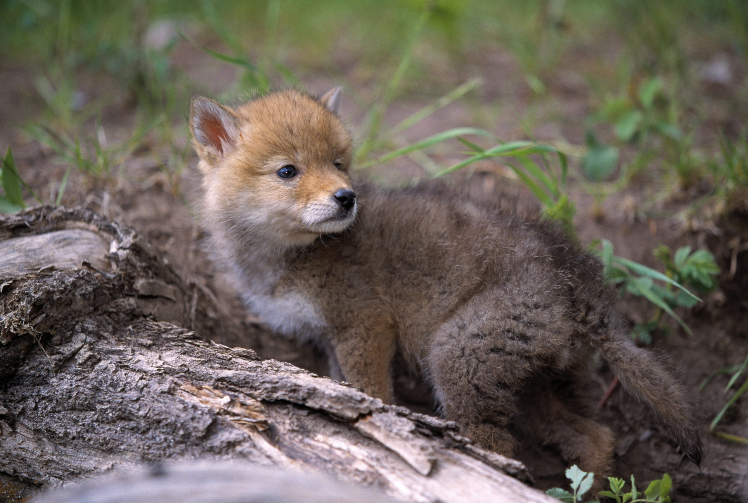 Baby Coyotes: 9 Questions and Answers