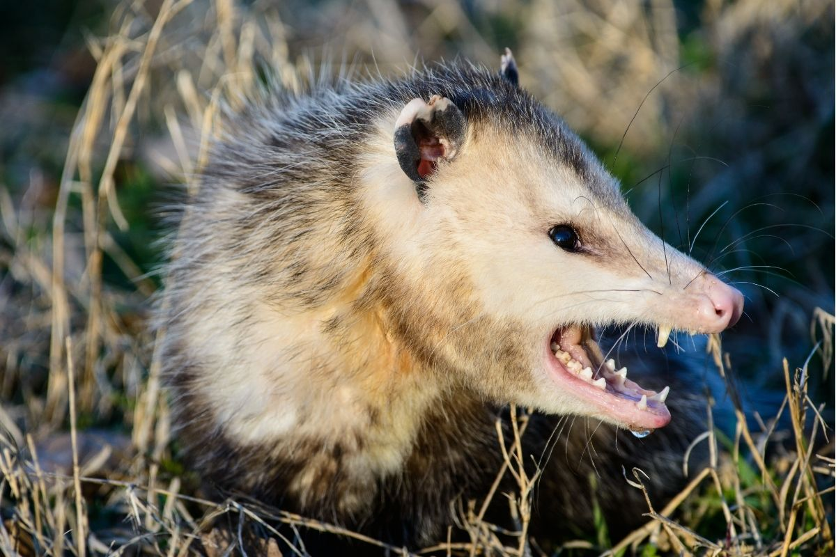 Can You Eat Possum and What Does Possum Taste Like?