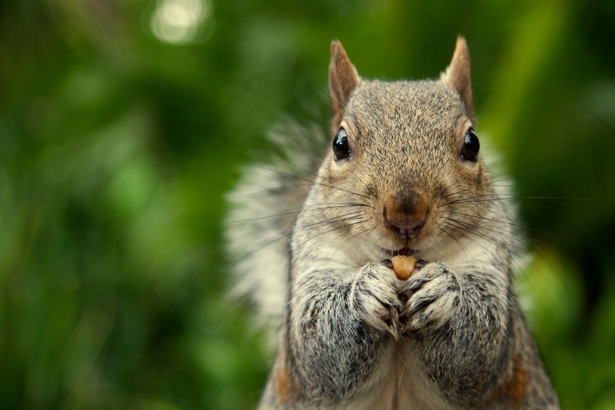 Do Squirrels Eat Meat? And The Reasons Why