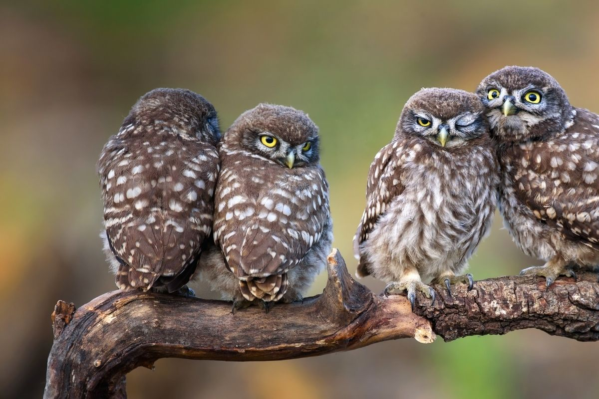 How Do Owls Sleep? It May Surprise You